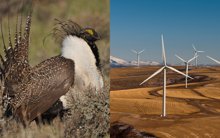The US Fish and Wildlife Service is mulling whether to list the greater sage grouse as endangered this September. Effects from wind energy development may play a role in that decision.