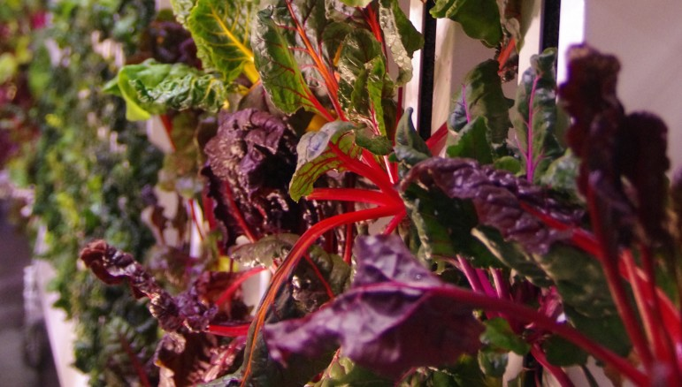 Chard grows in vertical racks under LEDs at the Bright Agrotech warehouse in Laramie.